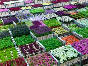 Royal Flora Holland is een van de partijen in de Holland Flower Alliance
